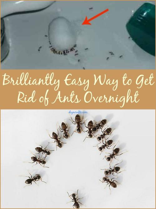 Brillant einfache Möglichkeit, Ameisen über Nacht loszuwerden
