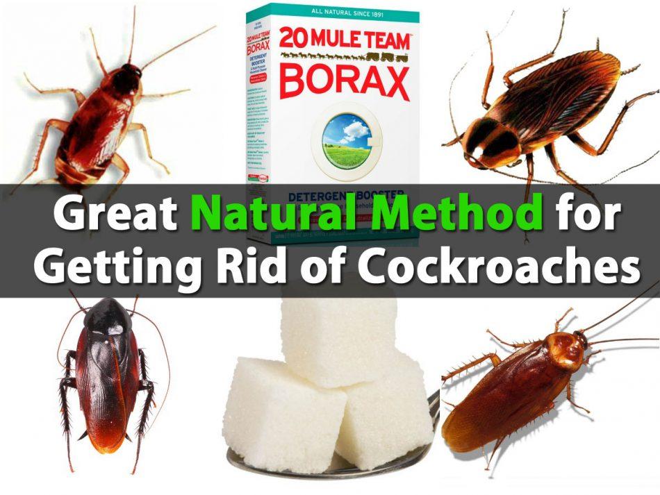Große natürliche Methode zur Bekämpfung von Kakerlaken